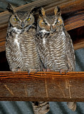 Great Horned Owls in hay shed
