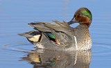 Green-winged Teal preening