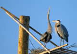 Great Blue Herons on nesting platform