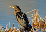 Juvenile Neotropic Cormorant