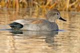 Gadwall, Sedona Wetlands Preserve, AZ