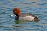 Redhead Duck, Dead Horse Ranch State Park, Cottonwood, AZ