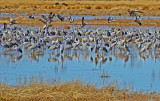 Sandhill Cranes returning to rest