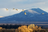 Sandhill Cranes against the mountains