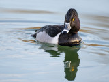 Ring-necked Duck, Dead Horse Ranch State Park, Cottonwood, AZ