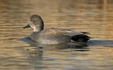 Gadwall, Sedona Wetlands Preserve, Sedona, AZ