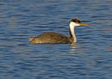 Western Grebe, Sedona Wetlands Preserve, Sedona, AZ