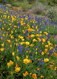 Poppies, lupines, and cream cups, Bartlett Lake, AZ