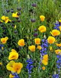 Poppies, lupines and Chia, Bartlett Lake, AZ