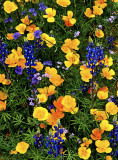 Poppies, phacelia, lupines, and flax, Bartlett Lake, AZ