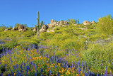 Mexican gold poppies, lupines, brittlebush and saguaro, Bartlett Lake, AZ