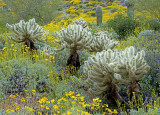 Teddy bear cholla and brittlebush, Bartlett Lake, AZ