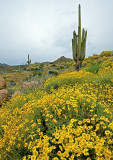 Brittlelbush and saguaro cactus, Bartlett Lake, AZ