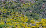 Brittlebush and saguaros, Bartlett Lake, AZ