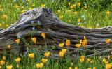 Saguaro skeleton, mexican gold poppies, and phacelia, Bartlett Lake, AZ