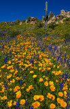 Mexican gold poppies and lupines with saguaro in the backgroud, Bartlett Lake, AZ
