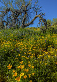 Mexican gold poppies and phacleia, Bartlett lake, AZ