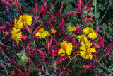 Chuparosa and brittlebush, Tonto National Forest, AZ
