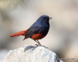Luzon Water Redstart