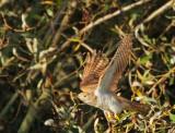 Birds -- Common Cuckoo, juvenile, September 2012