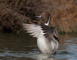 Northern Pintail, male