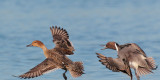 Northern Pintails, courting