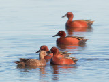 Cinnamon Teal, female and four males (Suitors in Ranks)