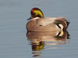 Falcated Duck, male