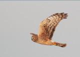 Northern Harrier, female