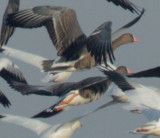 Greater-White Fronted Geese in Ross's flock