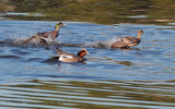 Wigeons courting, Redwood Shores, January 2013