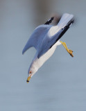 Ring-billed Gull, molting to breeding plumage, diving