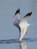 Ring-billed Gull, adult diving