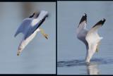 Ring-billed Gull, breeding plumage, diving