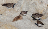 Three Surfbirds, Two Black Turnstones, One Whimbrel