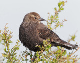 Red-winged Blackbird, Bicolored female