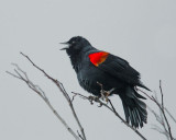 Red-winged Blackbird, Bicolored male, singing