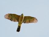 Cooper's Hawk, overhead