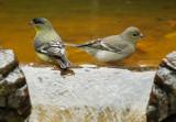 Lesser Goldfinch pair