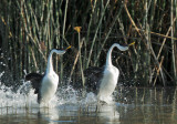Western Grebes, courting display