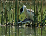 Western Grebes, copulating at the nest