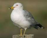Ring-billed Gull, breeding plumage