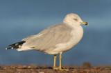 Ring-billed Gull, adult winter