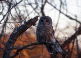 barred owl 745
