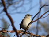 mockingbird 003