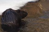 beaver 491