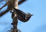 black-and-white warbler 165