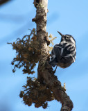black-and-white warbler 162