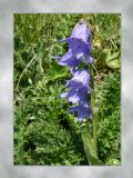 bearded bellflower.jpg