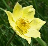 alpine pasque flower 2.jpg